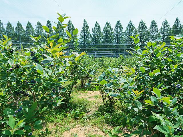 大小さまざまなブルーベリーの木が並んでいる様子