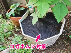 コガネムシ対策に鉢底ネットを設置したブルーベリーの植木鉢の写真