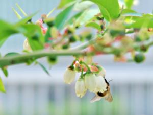 ブルーベリーの花にミツバチが来ている様子