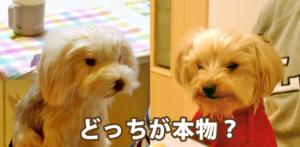 愛犬にそっくりな「クローンぬいぐるみ」がついに届いた!驚くほど似ていて感動した