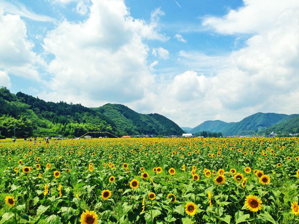 夏の兵庫県佐用町、ひまわりの花が咲く風景