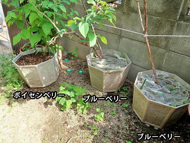 ブルーベリー、ボイセンベリーの鉢植えが並べられた様子