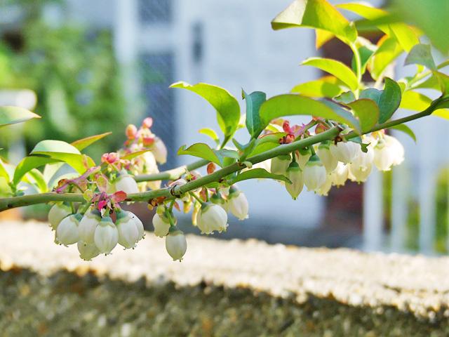 ブルーベリーの花が下を向いている様子
