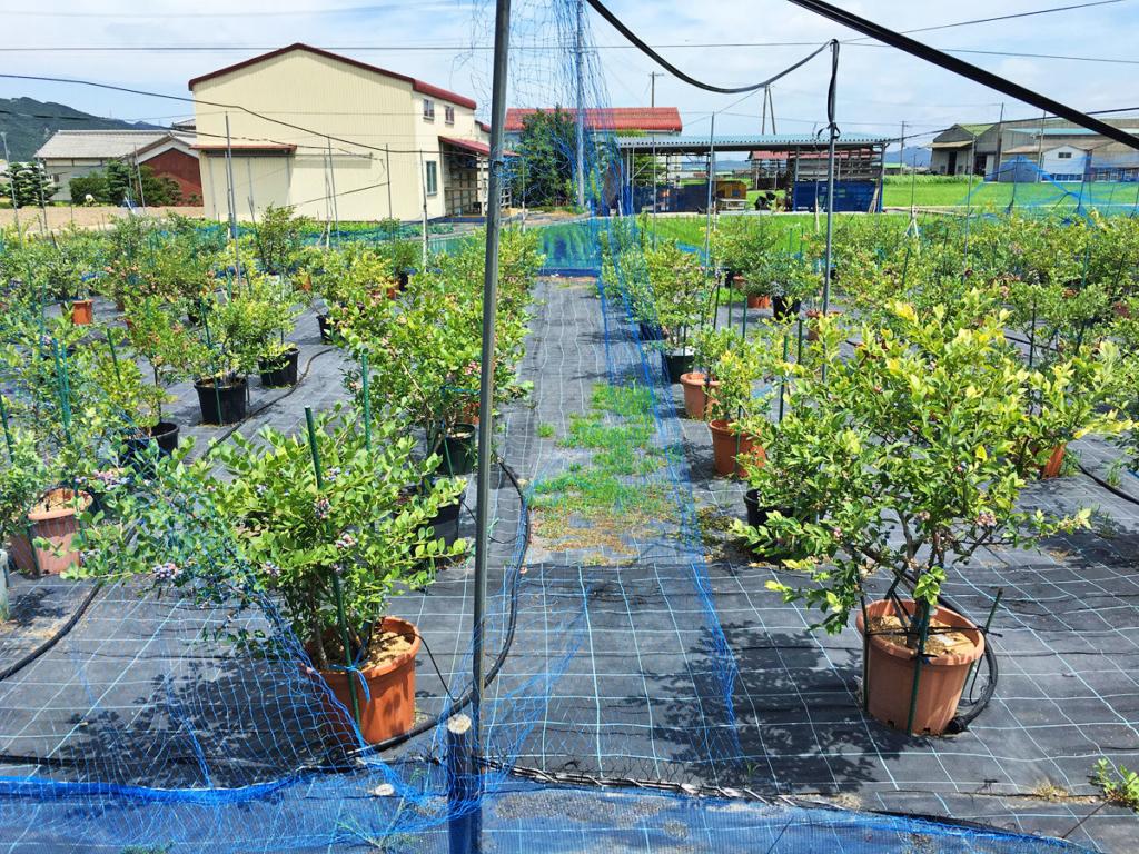 鉢植えのブルーベリーの木が並んでいる様子