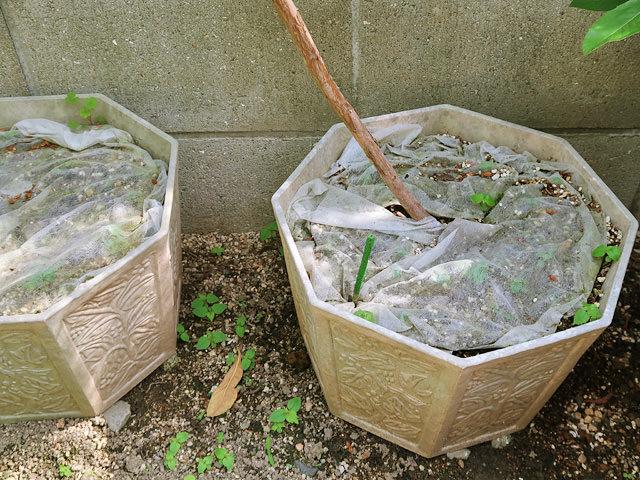 ブルーベリーの木の根元を不織布で覆っている様子