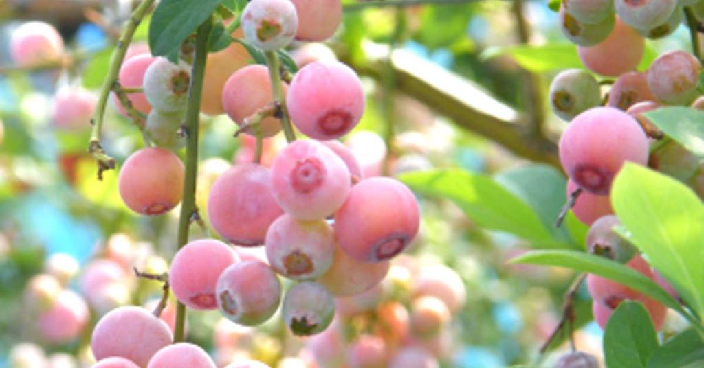 ピンク色のブルーベリーの実の写真