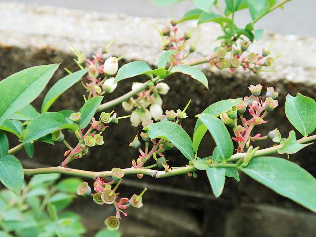 ブルーベリーの花の部分が上を向いている様子