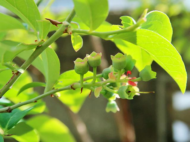 ブルーベリーの花の部分が上や横を向いている様子