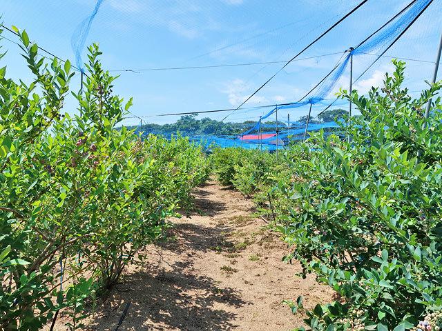 たくさんの木が並ぶブルーベリー畑の様子