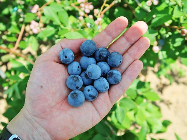 大粒のブルーベリーの実を手のひらに乗せた様子
