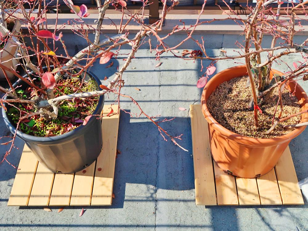 ブルーベリーの木・鉢が並んでいる写真