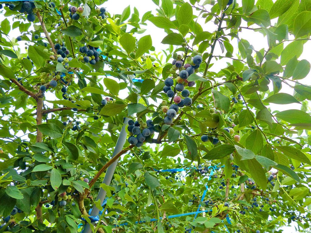 ブルーベリーの木にたくさんの実が付いているのを下から見上げた様子