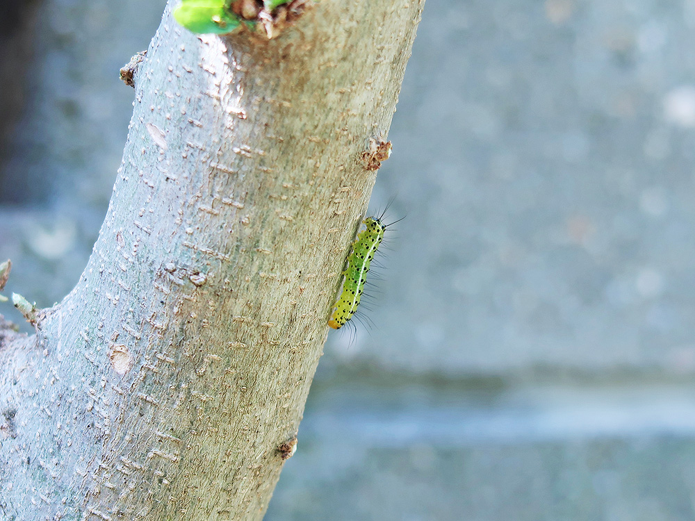 「フタトガリアオイガ」の幼虫の写真