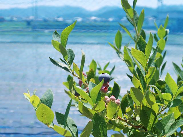 ブルーベリーの木に実が付いている写真
