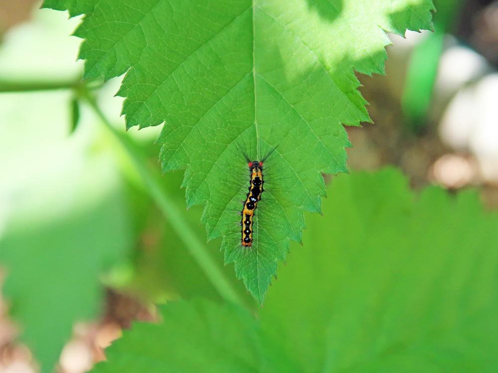 別の種類の毛虫の写真