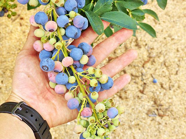 ブルーベリーの木にたくさんの実が付いている様子