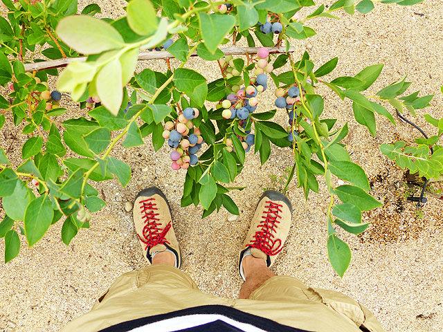 ブルーベリーの木に、熟れ具合が異なる色々な実が付いている様子