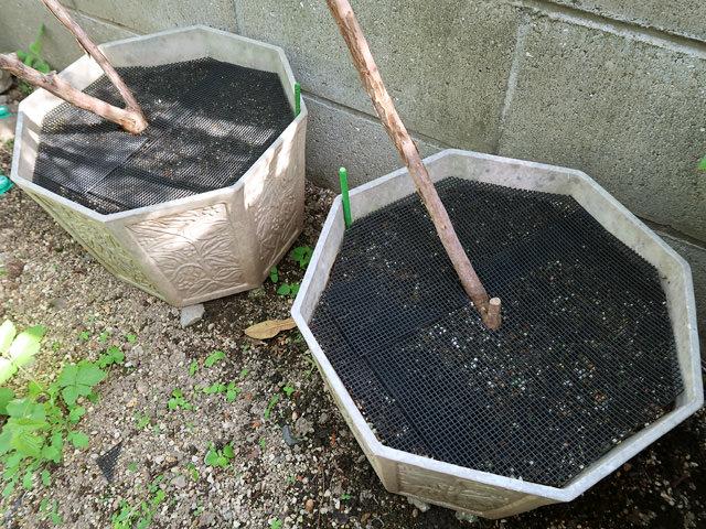 鉢底ネットを設置したブルーベリーの植木鉢の写真