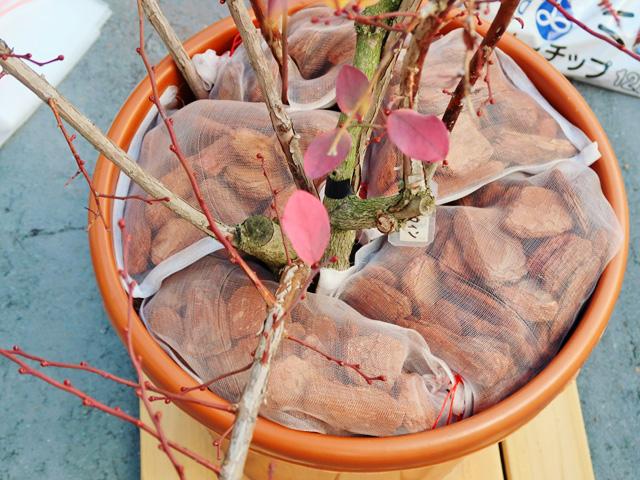 ブルーベリーの木の根元にバークチップが入ったメッシュ袋を並べられた様子