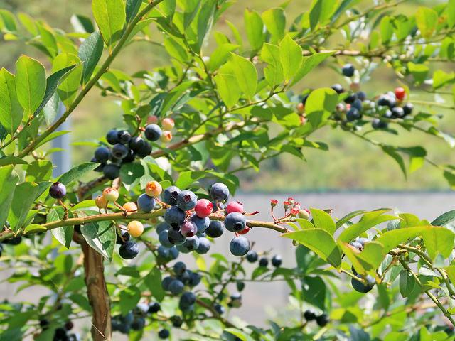 ブルーベリーの木にたくさんの実が付いている写真