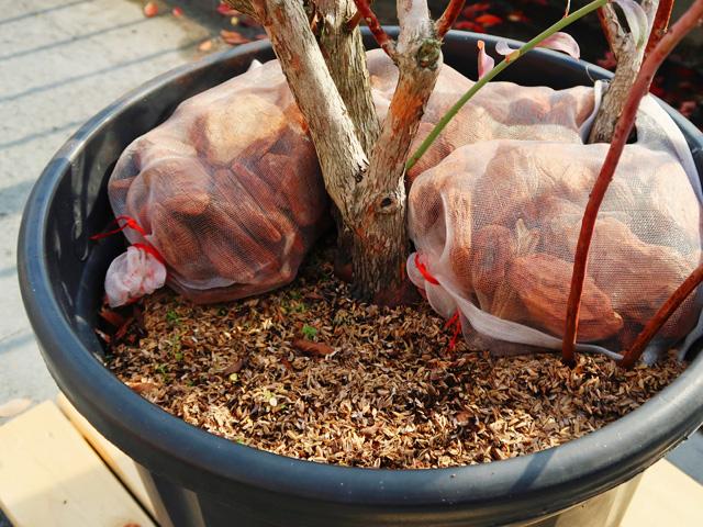 ブルーベリーの木の根元にバークチップが入ったメッシュ袋を並べる様子