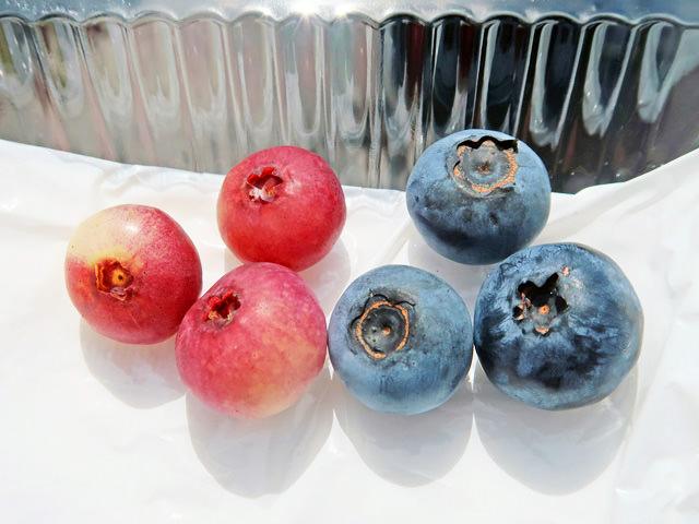青色とピンク色のブルーベリーの実を並べた写真