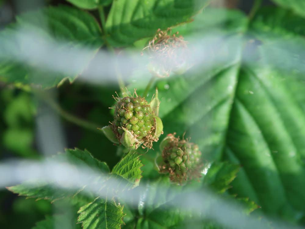 熟す前のボイセンベリーの実の写真