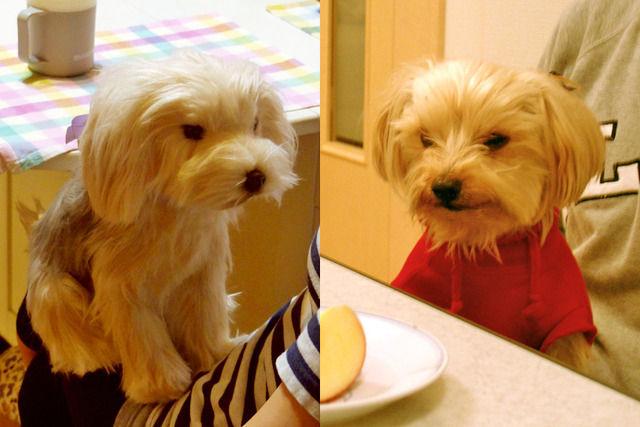 愛犬ポピィとぬいぐるみを比較した写真