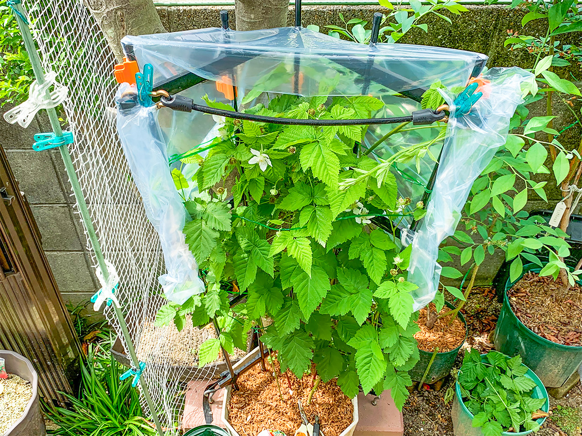 雨よけシートが設置されたボイセンベリーの植木鉢の様子